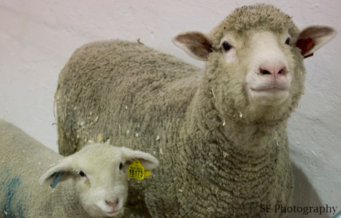 Sheeps - Edited - WM